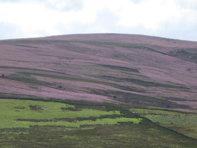 Hexhamshire Common with heather in bloom