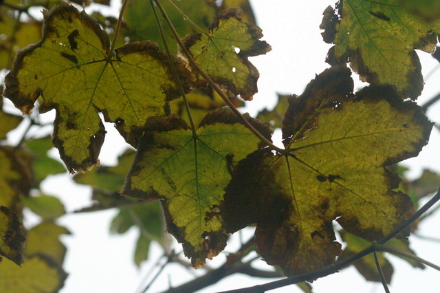 Autumnal Sycamore leaves, Norwick