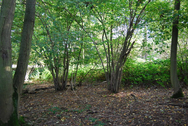 Coppiced trees, Home Covert