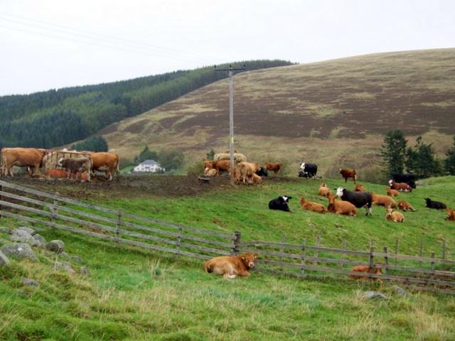 Cattle, Brewlands Bridge