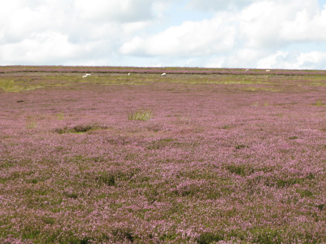 Long Rigg with heather in bloom (3)
