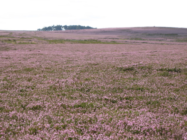 Herds Law with heather in bloom