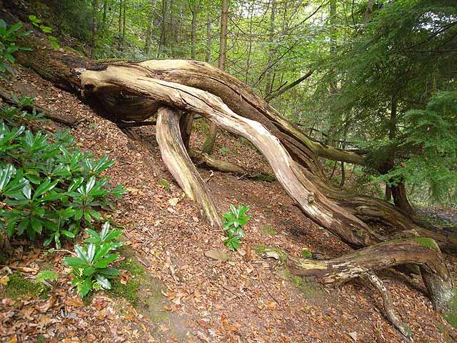 Fallen tree at Allen Banks