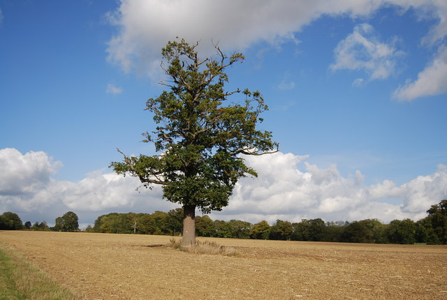 Tree in a field north of Lower Street