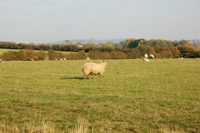 Sheep beside the track to Stapenhall Farm