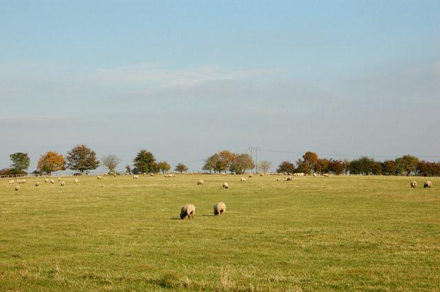 Sheep grazing near Stapenhall Farm
