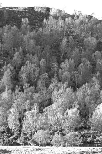 Birch Trees at Craigellachie