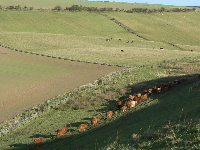 Cattle and shadows
