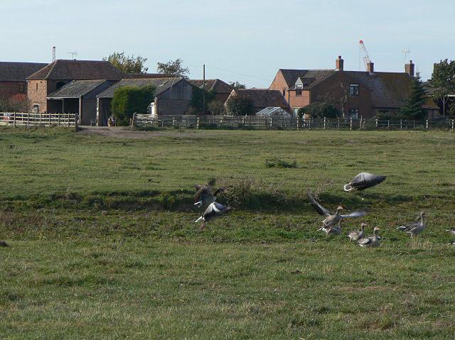 Greylags near Coneygre Farm