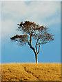 SU0064 : Tree, Oliver's Castle, Beacon Hill, near Heddington (2) : Week 41