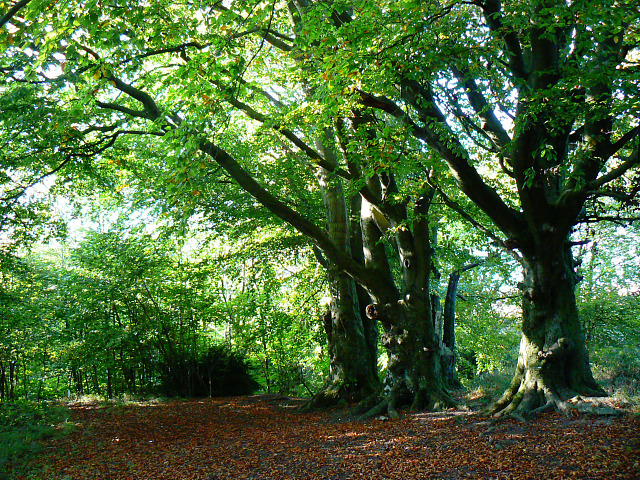 Trees in Roundway Hill Covert, Roundway CP
