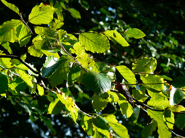 Beech leaves, Roundway Hill Covert, Roundway CP