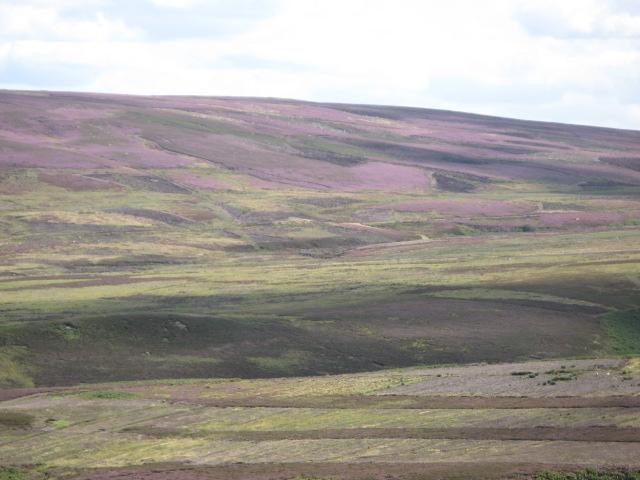 Panorama of Westburnhope Moor with heather in bloom (7: SE - Lilswood Moor)