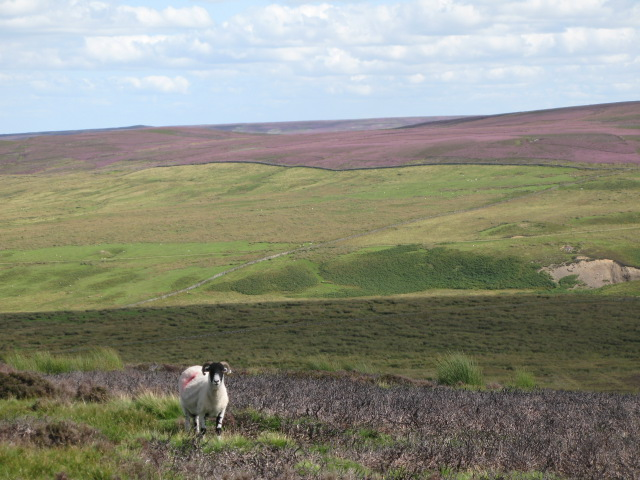 Panorama of Westburnhope Moor with heather in bloom (11: E - Valley of the Linn Burn above Westburnhope)