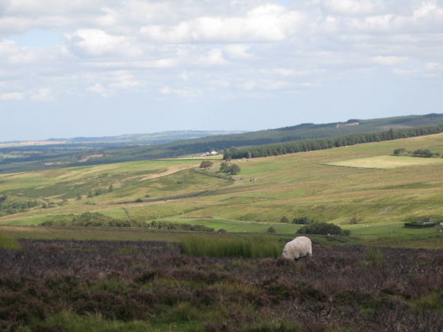 Panorama of Westburnhope Moor with heather in bloom (13: North of E - Moss Hill)