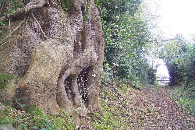 Old Tree on footpath
