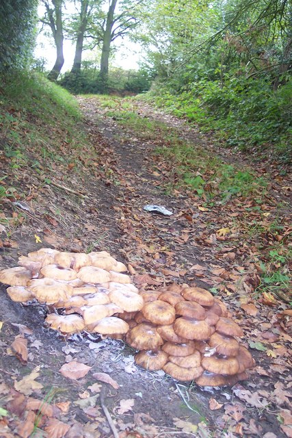 Mushroom Colonies on a footpath near Drovers