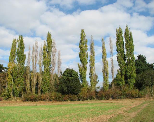 A row of tall poplars by Heath Side