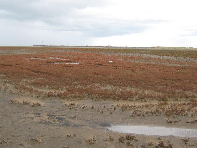Saltmarsh Glasswort Teesmouth National Nature Reserve