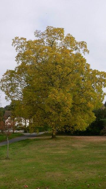 Tree by the green at Shamley Green