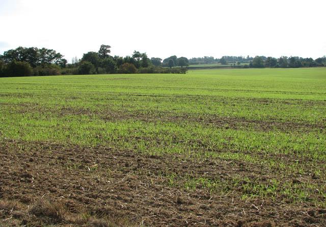 Winter crop in field north of White Heath Road