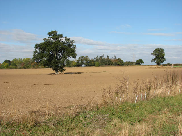 Solitary oak in field south of Cooke's Road