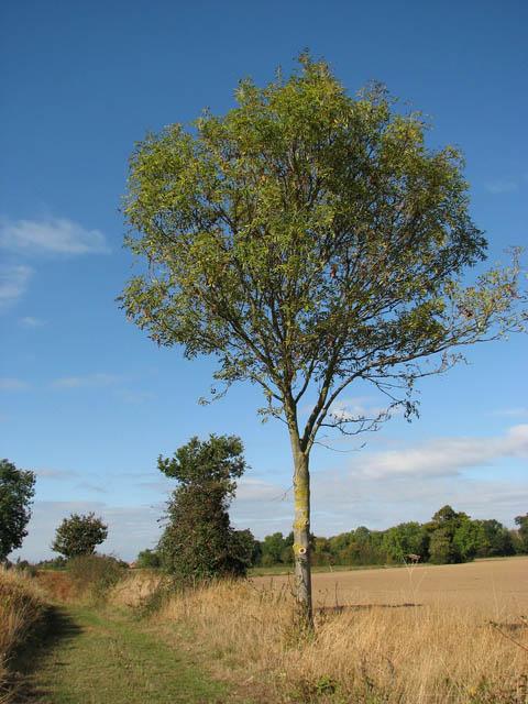 An ash tree beside the path