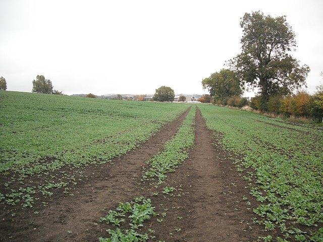 Oilseed rape, off Grange Road