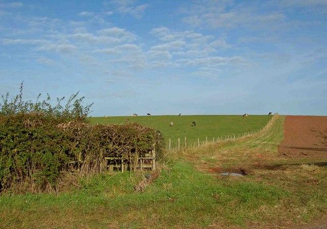 Cows grazing near Laxton