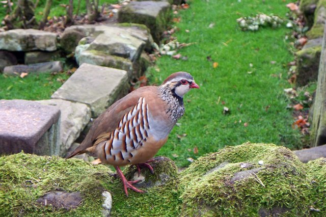 Partridge in the garden of Keepers Cottage
