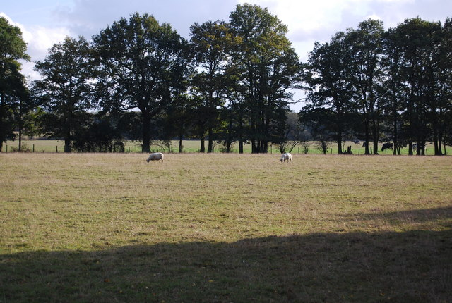Sheep grazing near Leigh Park Farm