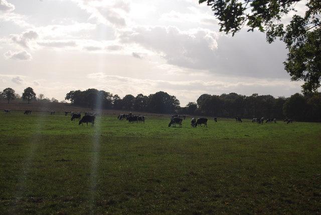Cattle grazing near Leigh Park Farm