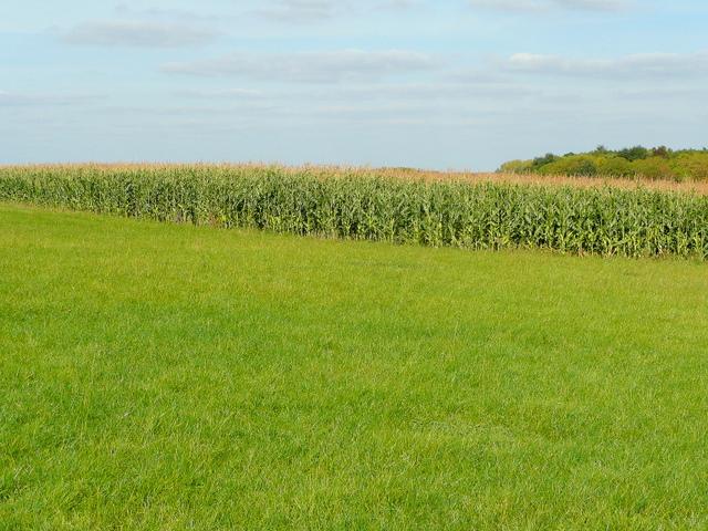 Edge of maize