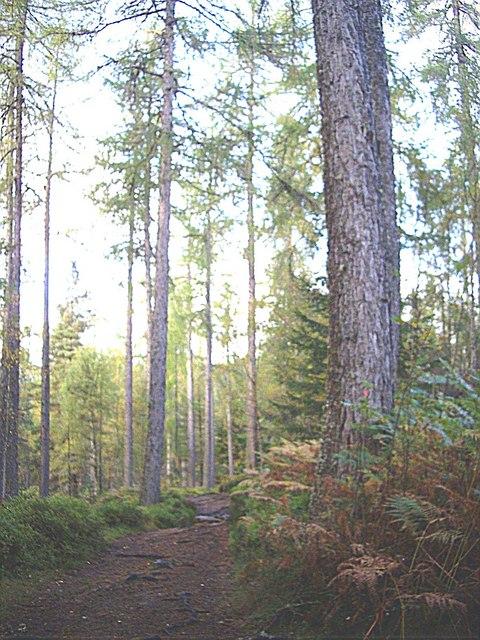 Path through the fir trees