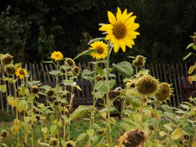 Waterlow sunflowers