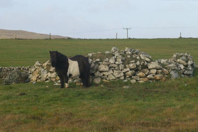 Shetland pony, Baltasound