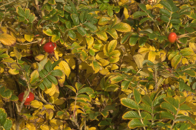 Autumnal colours of Rosa rugosa, Baltasound