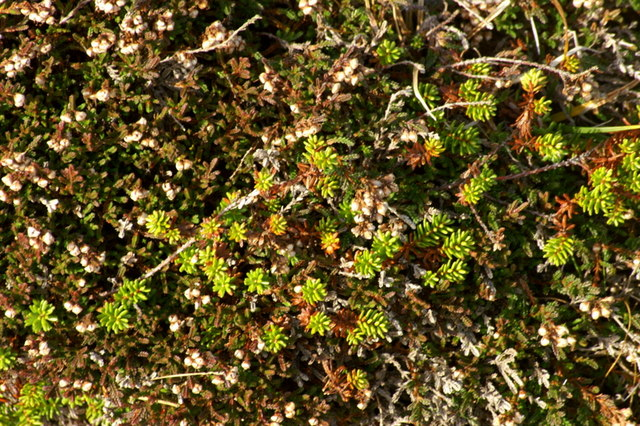 Crowberry (Empetrum nigrum) and Heather (Calluna vulgaris), Ward of Norwick