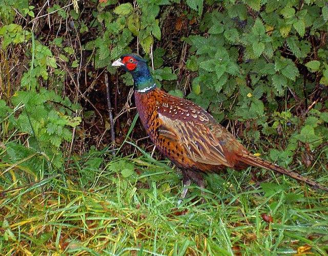 Pheasant alongside West End lane
