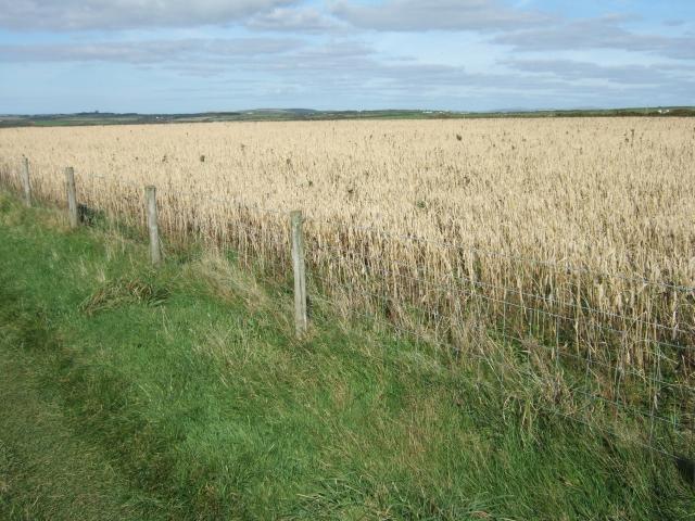 Barley field beside coast path near Druidston