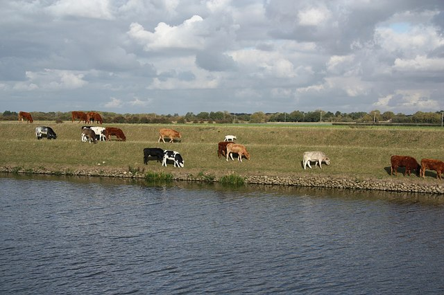 Witham-side cattle