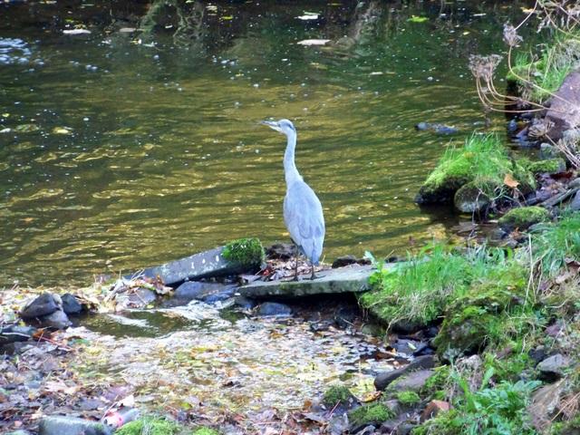 Heron beside the Alyth Burn