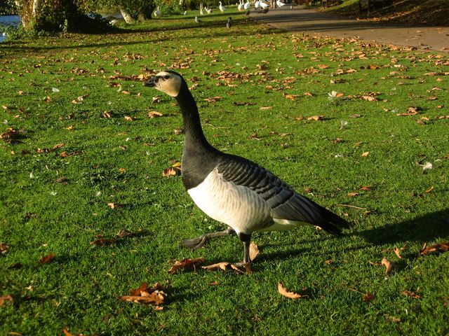 Barnacle Goose in Roath park