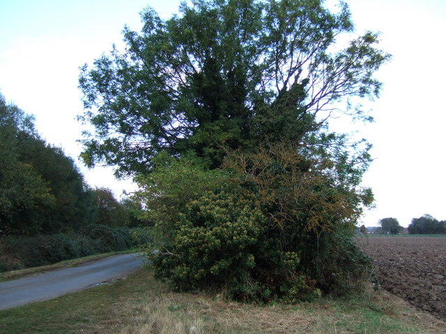 Tree and hedgerow on Gadd's Lane