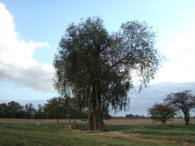 A willow tree on Panswell Lane