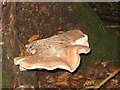SP8910 : Bracket Fungus in Buckland Hoo Wood by Chris Reynolds