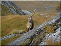 NG9604 : Red deer stag near Kinloch Hourn. by sylvia duckworth