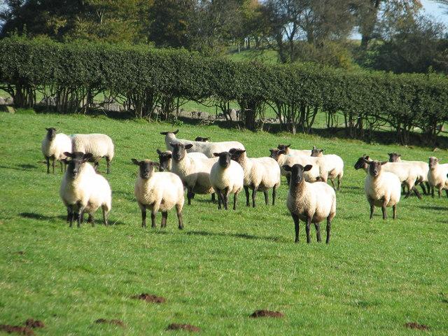 Sheep on Gaer Hill Farm
