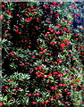 ST4619 : Berries of the Yew tree - Martock by Sarah Smith