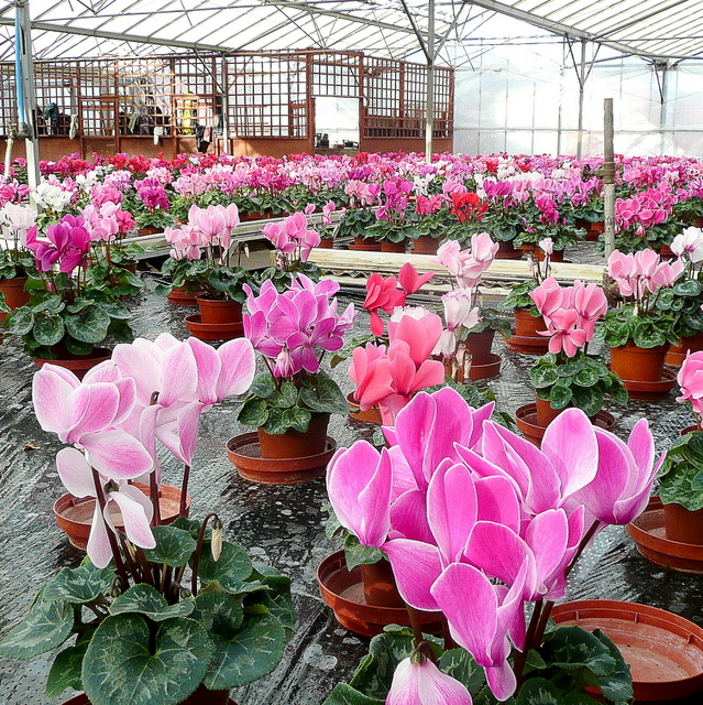 Cyclamen at Lealan's Nurseries